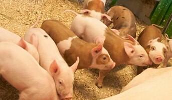 20 års forskning har gitt en ny gris