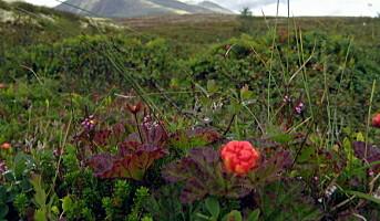 Først med økologisk godkjenning på skogsbær og sopp