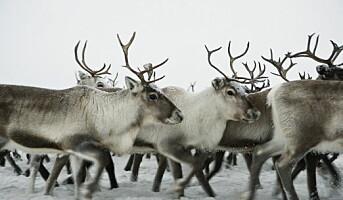 Toppscore til reinsdyrkjøtt
