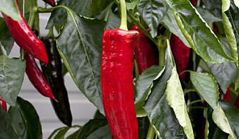 Paprikaforbruket øker kraftig