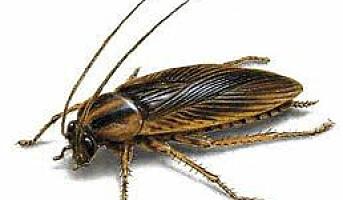 Kakerlakken kan bli fremtidens sushi