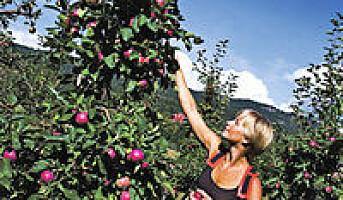 40 prosent flere norske epler