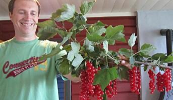 Dessertbær av rips dyrkes på espalier