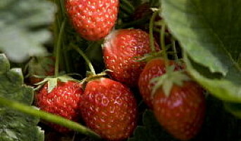 Forventer tidenes søteste jordbærsesong