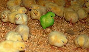 De økologiske kyllingene skal bli slankere