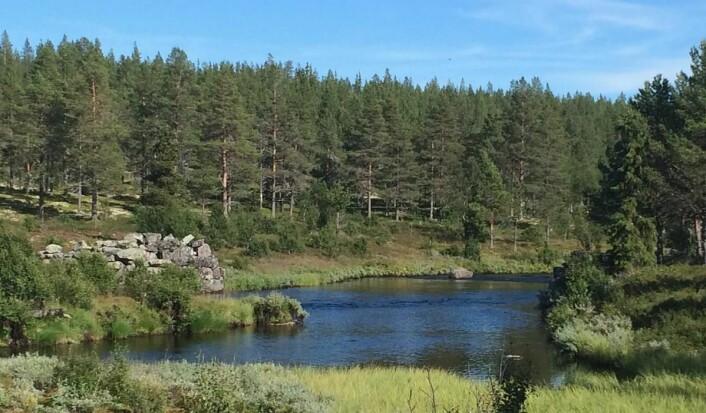 Mistra er en populær fiskeelv i Rendalen kommune. (Foto: Morten Holt)