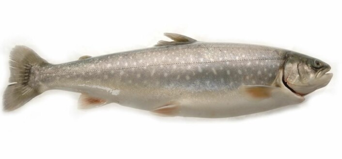 Ishavsrøye står også på menyen. (Foto: Eksportutvalget for fisk)