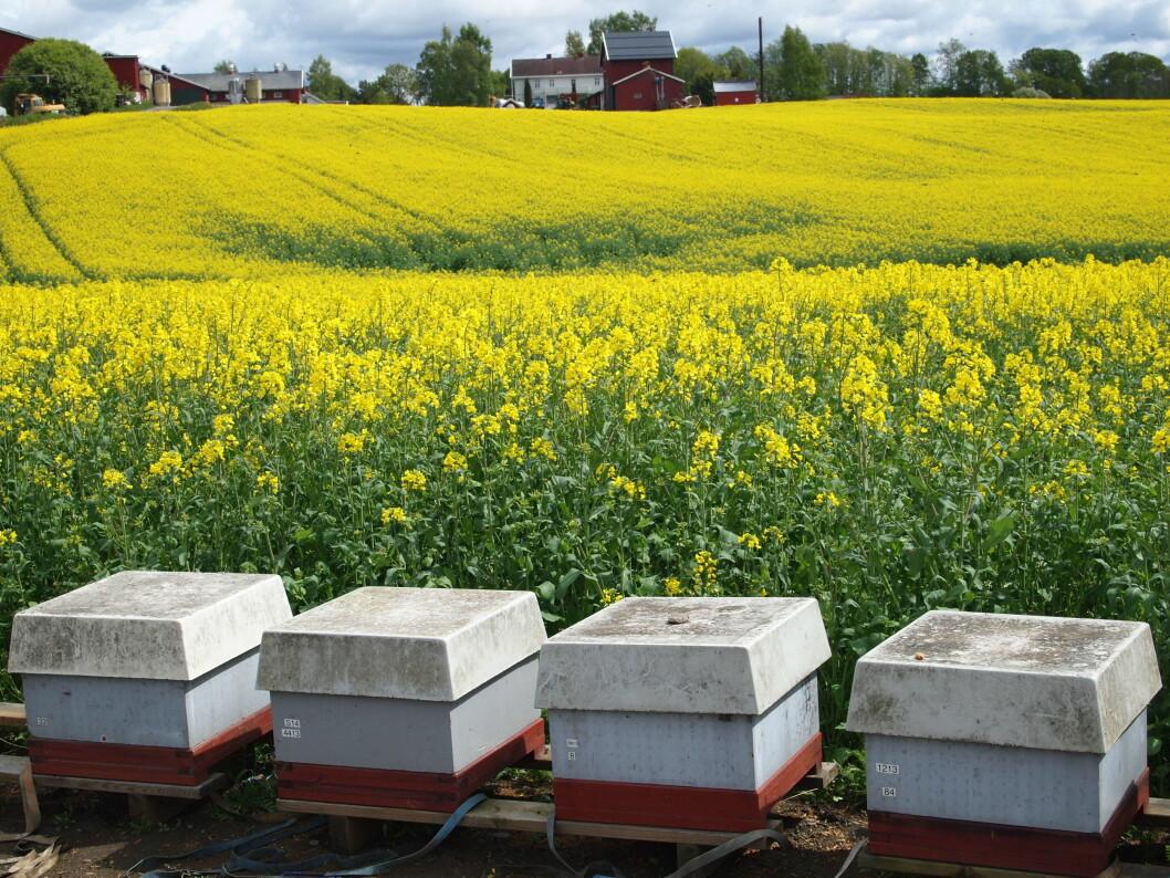 Bikuber, som er plassert ut for å sikre pollinering av rapsåker. (Foto Eli Åsen)