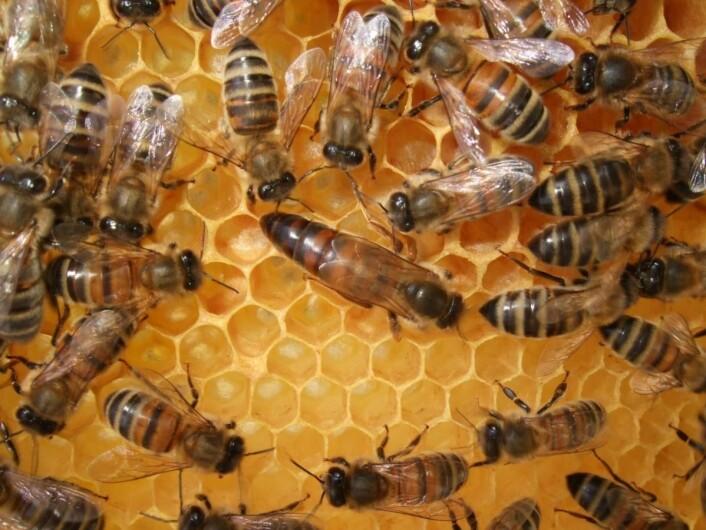 Umerket dronning på tavle. Et hoff av arbeiderbier sitter rundt henne. (Foto Eli Åsen)