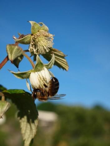 Bie i bringebærblomst. Bringebær er en av de viktigste trekkplantene i Norge. (Foto Eli Åsen)