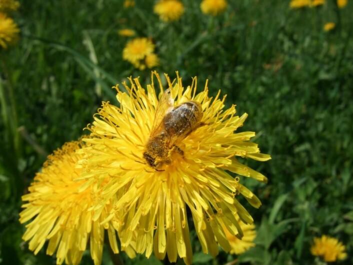 Bie på løvetann. Løvetann gir rikt med pollen og nektar tidlig på våren, når det er lite annen næring å hente. (Foto Eli Åsen)