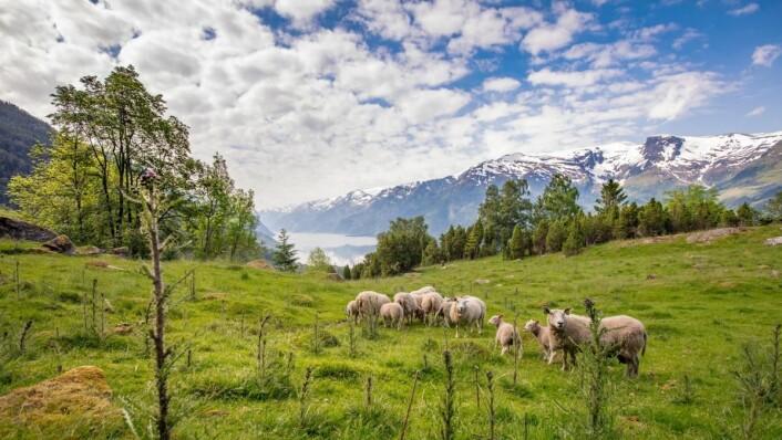 I årets konkurranse skal hovedretten lages på Gilde-lam fra Hardanger. (Foto: Gilde/Nortura Proff)