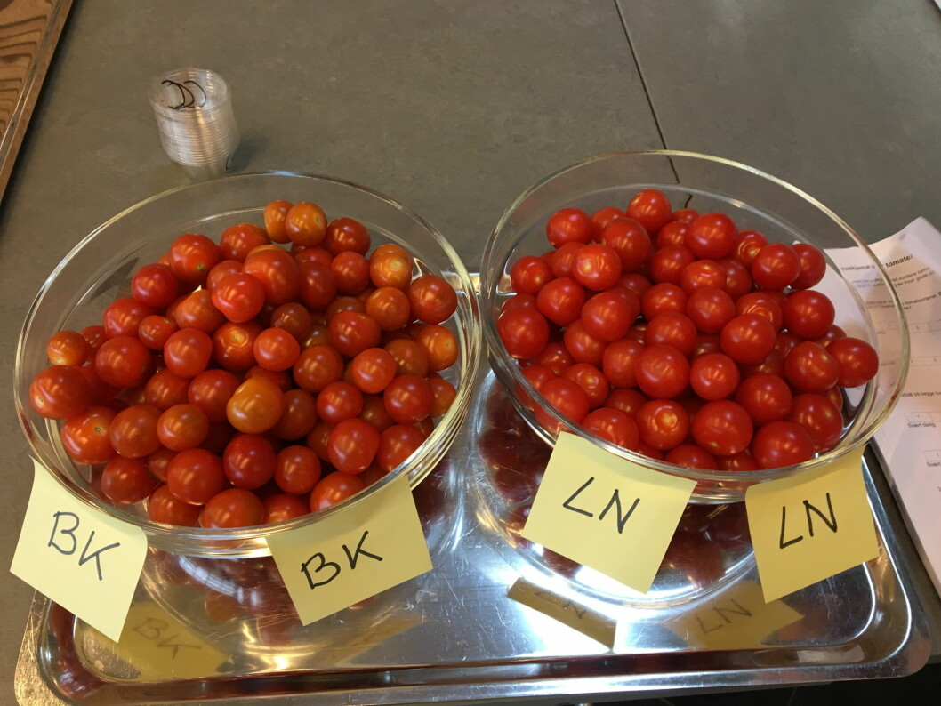 Smaker mørkerøde cherrytomater bedre enn de som er lysere i fargen? (Foto: Nofima)