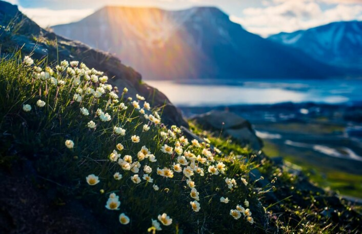 Det norske laget i Bocuse d'Or Europe, med Christian A. Pettersen i spissen, har ønsket å formidle den arktiske våren, floraen og midnattssolen i nord. (Foto: Shutterstock)