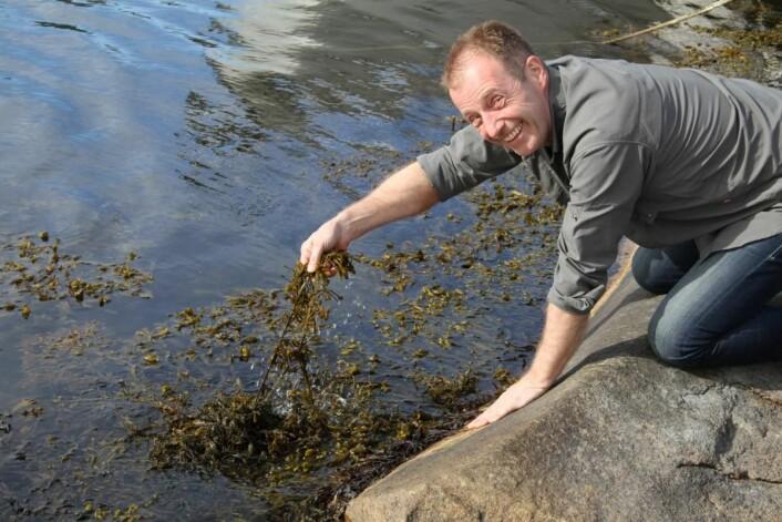 """Bjørn Viken plukker """"havets grønnsaker"""". (Foto: Heidi Fjelland)"""
