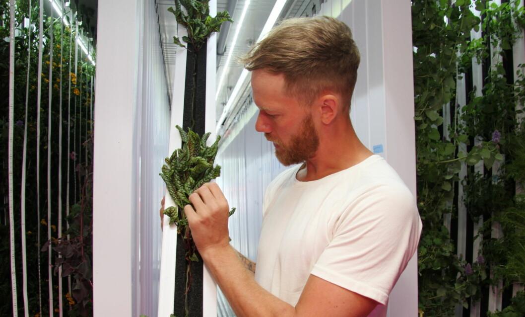 Det dyrkes om 30 forskjellige grønnsaker, salater og urter i den grønne dyrkecontaineren. Her studerer Magnus Humle rødstilket engsyre. (Foto: Morten Holt)