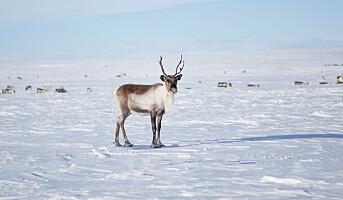 Tid for reinsdyrkjøtt