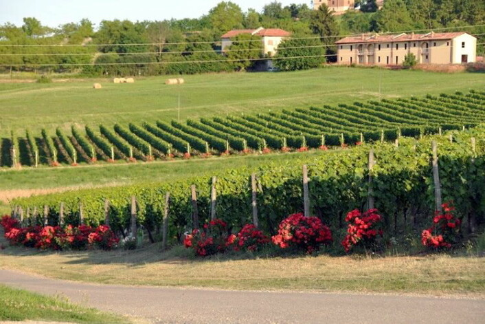 Rosebusker i vinmarka.(Foto:Cascina Castlét)