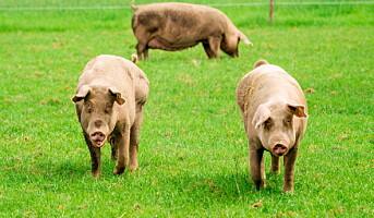 Sjokkerende grise-dokumentar