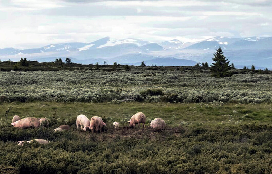 Stølsvidda/Fjellgris er finalist i «Årets lokalmatgründer 2019». Her nyter grisene livet på vidda med fjelltoppene Nautgardstind og Stornubben i bakgrunnen. (Foto: Stolsvidda.com)