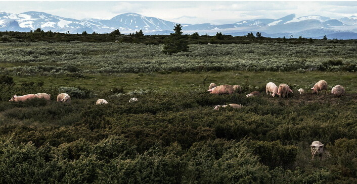 Grisen i Valdres nyter livet på vidda i Valdres - med ruvende fjell som Besshø og Nautgardstind i bakgrunnen. (Foto: Stolsvidda.com)