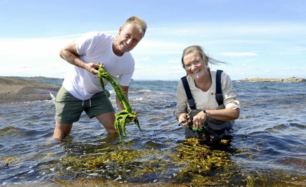 Anne-Lise og Bjørn Viken er ute og sanker. (Foto: Mariann Tvete/Ting med tang/Tangweb)