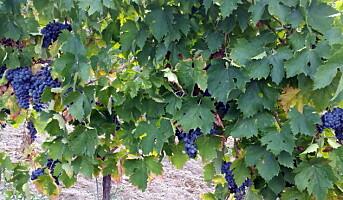 Norsk-italiensk vin på Kleivstua