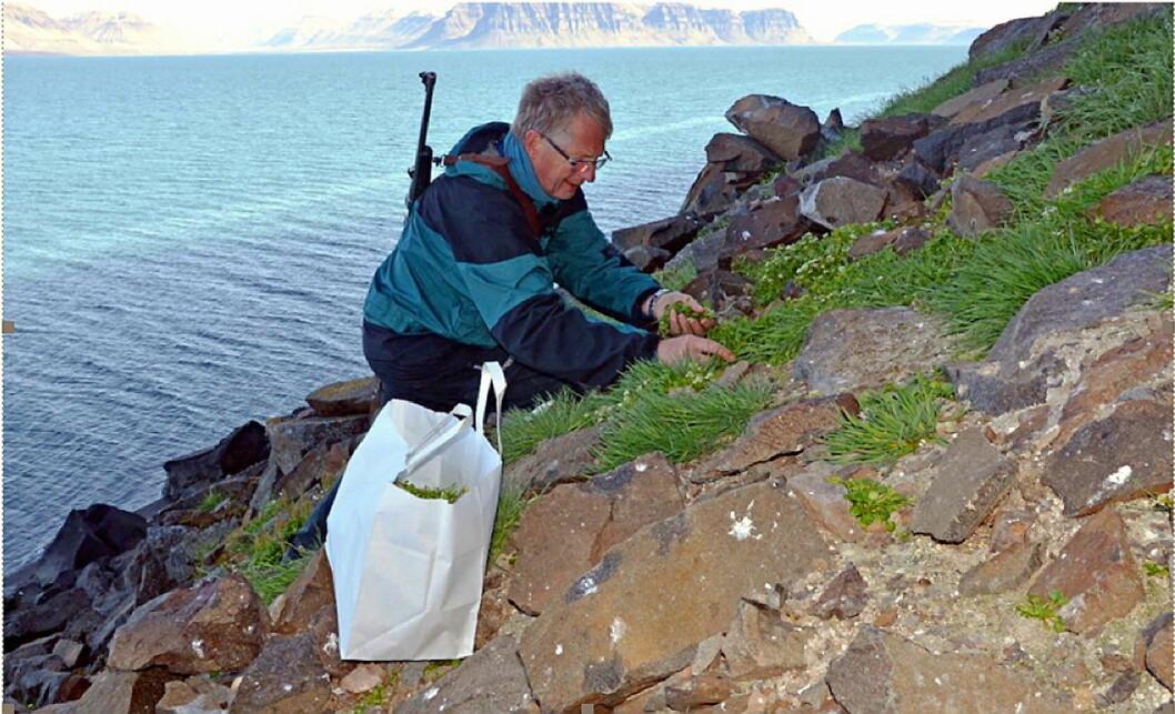 Det var Jan Haugan (bildet) og botaniker Rolv Hjelmstad i Urtekilden som sto for høstingen, og sørget for at det var de riktige plantene som ble tatt med fra Svalbard, der all fauna er fredet. (Foto: Det Norske Brenneri)