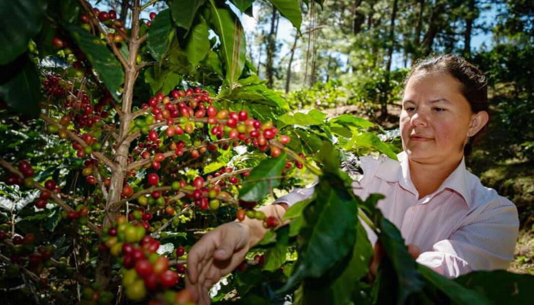 En av kaffebøndene som har deltatt i prosjektet holder til i Marcala, La Paz, i Honduras. (Foto: Löfbergs /Nordic Choice Hotels)