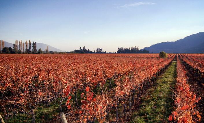Vinmarker hos Emiliana Organic Vineyards. (Foto: Emiliana Organic Vineyards)