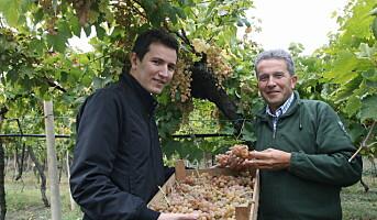 Økologisk hvitvin fra Soave Classico og Gini