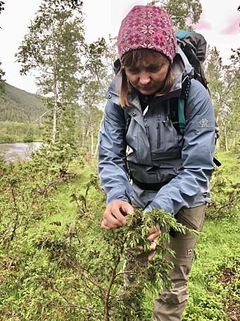 Svein Jæger Hansens kone Bodil Lien Hansen på jakt etter urter til den nye akevitten. (Foto: Sjursen Design)