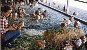 Liten kyllingprodusent reduserer plasten med 70 %