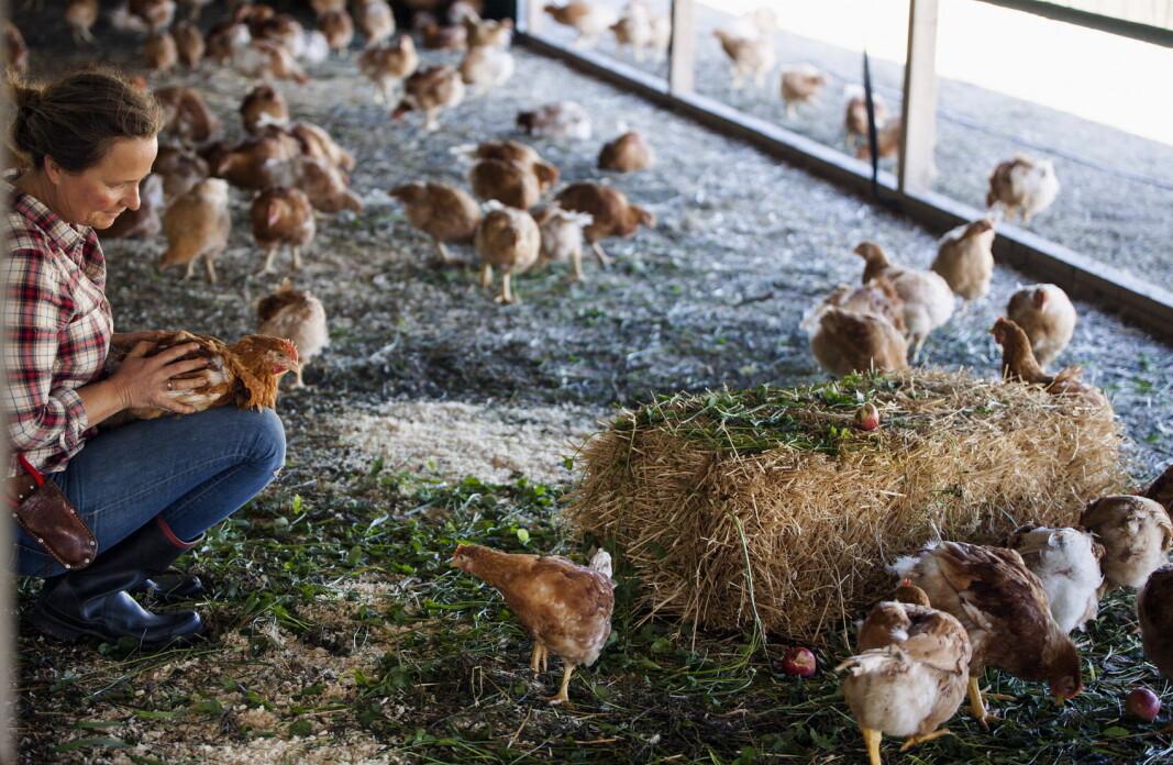 – Kyllingene fra Hovelsrud lever det gode kyllingliv. De har god plass, naturlig døgn, får gå ute i en stor hage, de spiser økologisk fôr, blomster og urter, forklarer Marianne Olssøn.