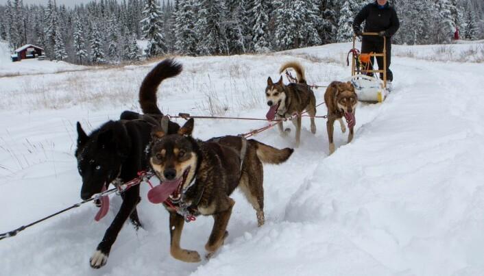 Huskyene koser seg i snøen på Beitostølen. (Foto: Nicolay Flaaten)