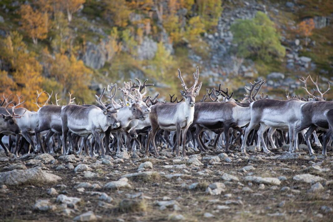 Foto: Knut Åserud/Finnmark Rein
