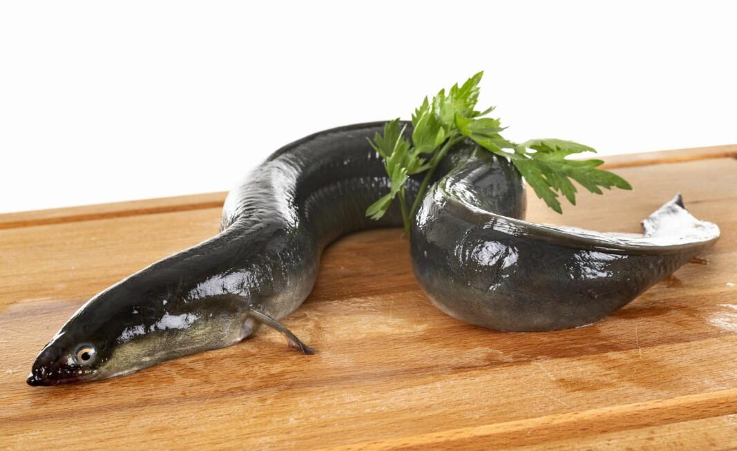 Europeisk ål er truet av utryddelse. Nå er tre norske næringsmiddelbedrifter ilagt store bøter for å ha importert dyrearten. (Foto: Colourbox.com)